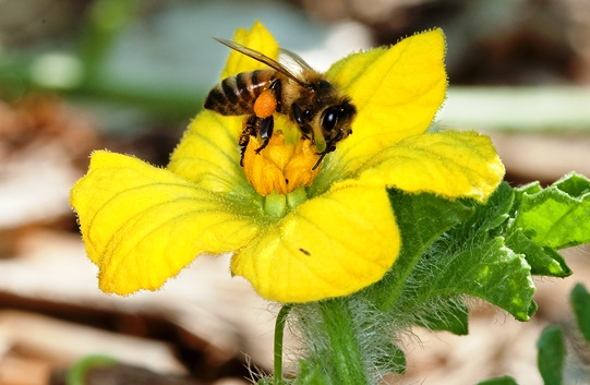 Photo of a honeybee sitting on a yellow flower