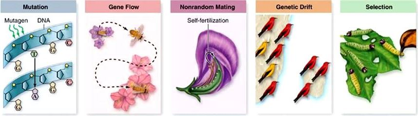 Five illustrations: mutation, gene flow, nonrandom mating, genetic drift, and selection