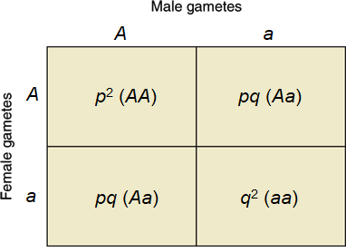 Box graph showing the possible union of male Aa versus female Aa gametes