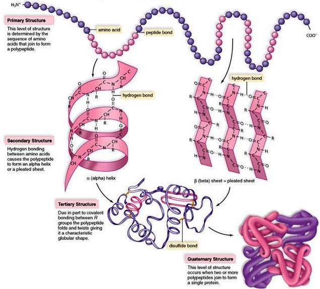 Illustration of the four levels of protein structure