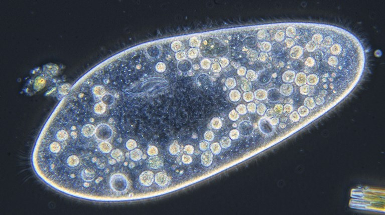 An oval paramecium (with many internal organelles in its cytoplasm) on a dark background
