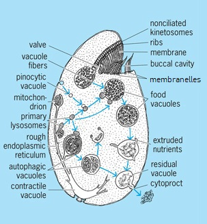 Illustration of an oval protozoan; various structures, including many vacuoles, are labeled