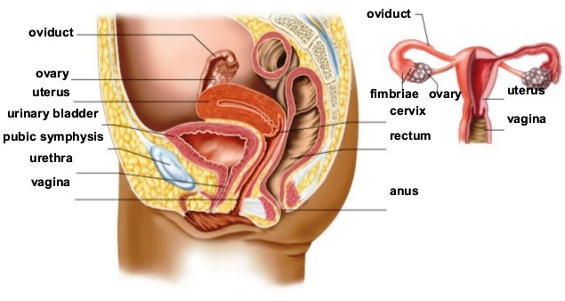 Color illustration (side view) of the anatomy of the female reproductive system; a smaller overview illustration is also shown; various structures are labeled