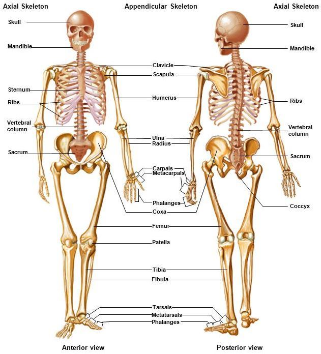 Skeletal system - AccessScience from McGraw-Hill EducationAccessScience