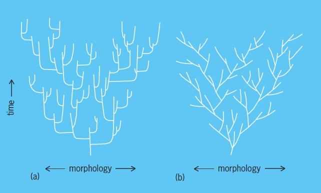 Illustration of (left) the punctuated equilibrium model and (right) the phyletic gradualism model; in both cases, time versus morphology is shown