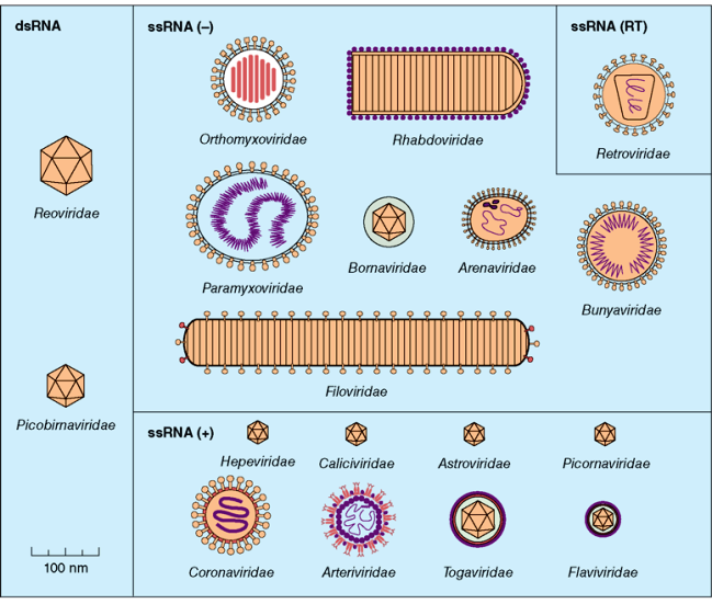 Drawings of numerous types of RNA viruses