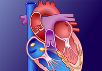 Conducting System of the Heart related image